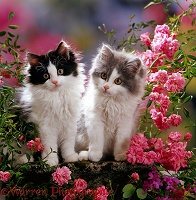 Bicolour Persian-cross kittens and flowers