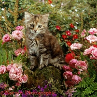 Long haired tabby kitten with pink rose flowers