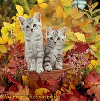 Silver tabby kittens among autumn leaves