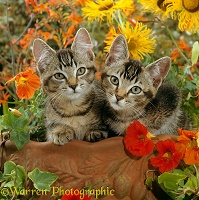 Tabby kittens among flowers