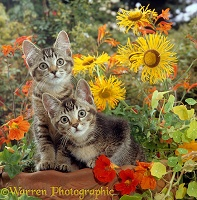 Ticked tabby kittens among flowers