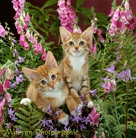 Ginger kittens among flowers