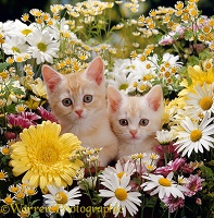 Two cream Burmilla kittens among flowers