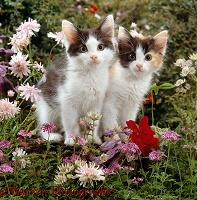 Black-and-white kittens among flowers