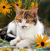 Calico cat with coneflowers