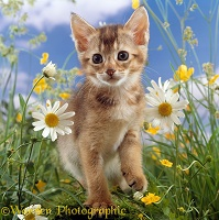 Abyssinian kitten among Daisy and Buttercup flowers