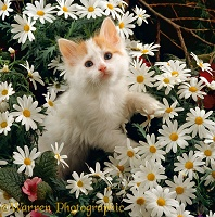 Ginger-and-white Turkish Van kitten among daisy flowers