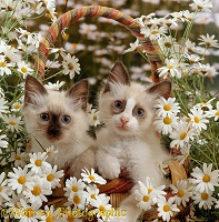 Birman kittens in wicker-basket among Daisies