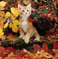 Ginger kitten among autumn leaves and berries
