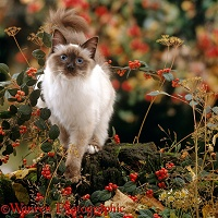 Birman cat among berries and seedheads