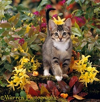 Tabby kitten, 12 weeks old, among yellow Azalea flowers