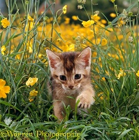 Abyssinian kitten, 6 weeks old, in grass and buttercups