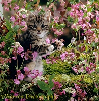 Tabby kitten among pink flowers