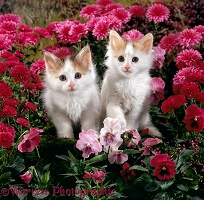 Calico kittens among pink flowers