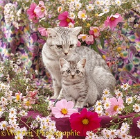Mother Silver tabby cat and kitten among flowers
