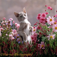 Burmese-cross kitten among flowers