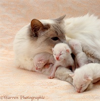 Balinese mother cat with young kittens