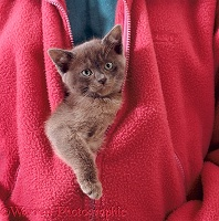 Blue Burmese kitten zipped into jacket
