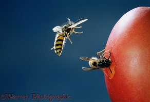 Common Wasp workers feeding on plum