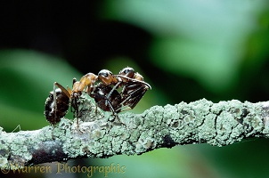 Wood Ant carrying another