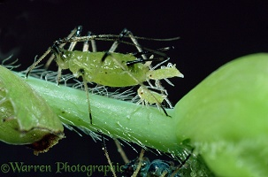 Female aphid giving birth to young