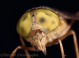 Close up of head of Horsefly