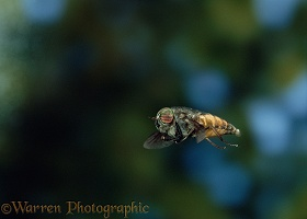 Horse Fly in flight