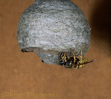Saxony Wasp queen building nest