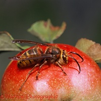 Hornet male feeding on apple