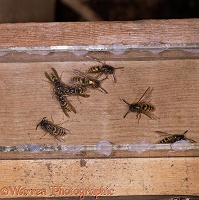 Common Wasps at nest entrance