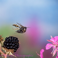 Field Digger Wasp flying with bluebottle prey