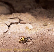 Bee-killer Wasp making nest hole