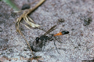 Sand Wasp plugging its burrow