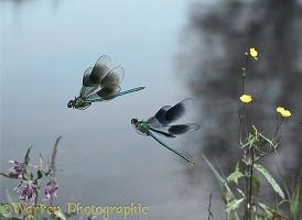Banded Demoiselle males in flight