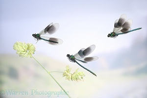Banded Demoiselles in flight