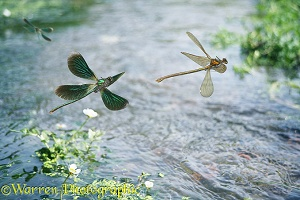 Beautiful Demoiselles in flight with water crowfoot