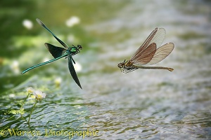 Beautiful Demoiselles in flight