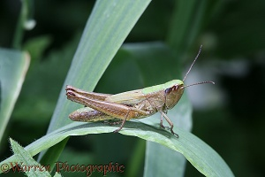 Common Field Grasshopper flightless female