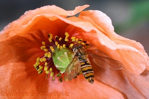 Marmalade Hoverfly in orange poppy