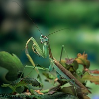 Japanese praying mantis