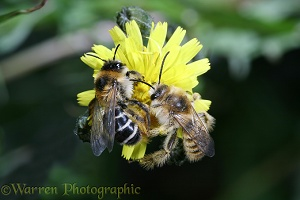 Hairy-legged Mining Bees