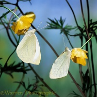 Large White Butterflies