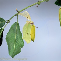 Brimstone butterfly emerging from pupa