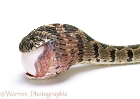 Egg-eating Snake swallowing an egg