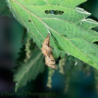 Comma Butterfly pupa