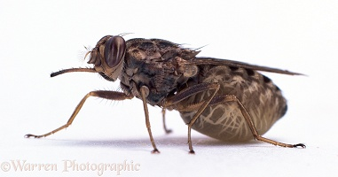 Tsetse Fly with lava in its abdomen