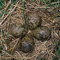 Lapwing eggs in nest