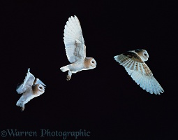Barn owl flying multiple exposure