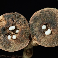 Oak Marble Gall, sectioned to show wasp larvae
