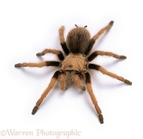 Mexican Blond Tarantula